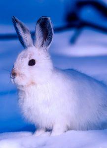 Vino y animales: liebre ártica