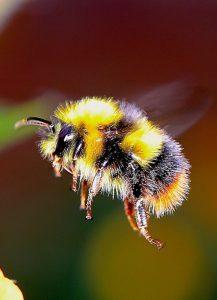 Vino y animales: el abejorro