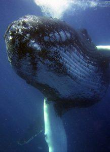 Vino y animales: ballena azul