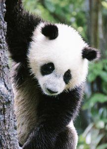 Vino y animales: oso panda