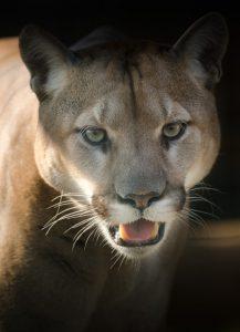 Vino y animales: puma